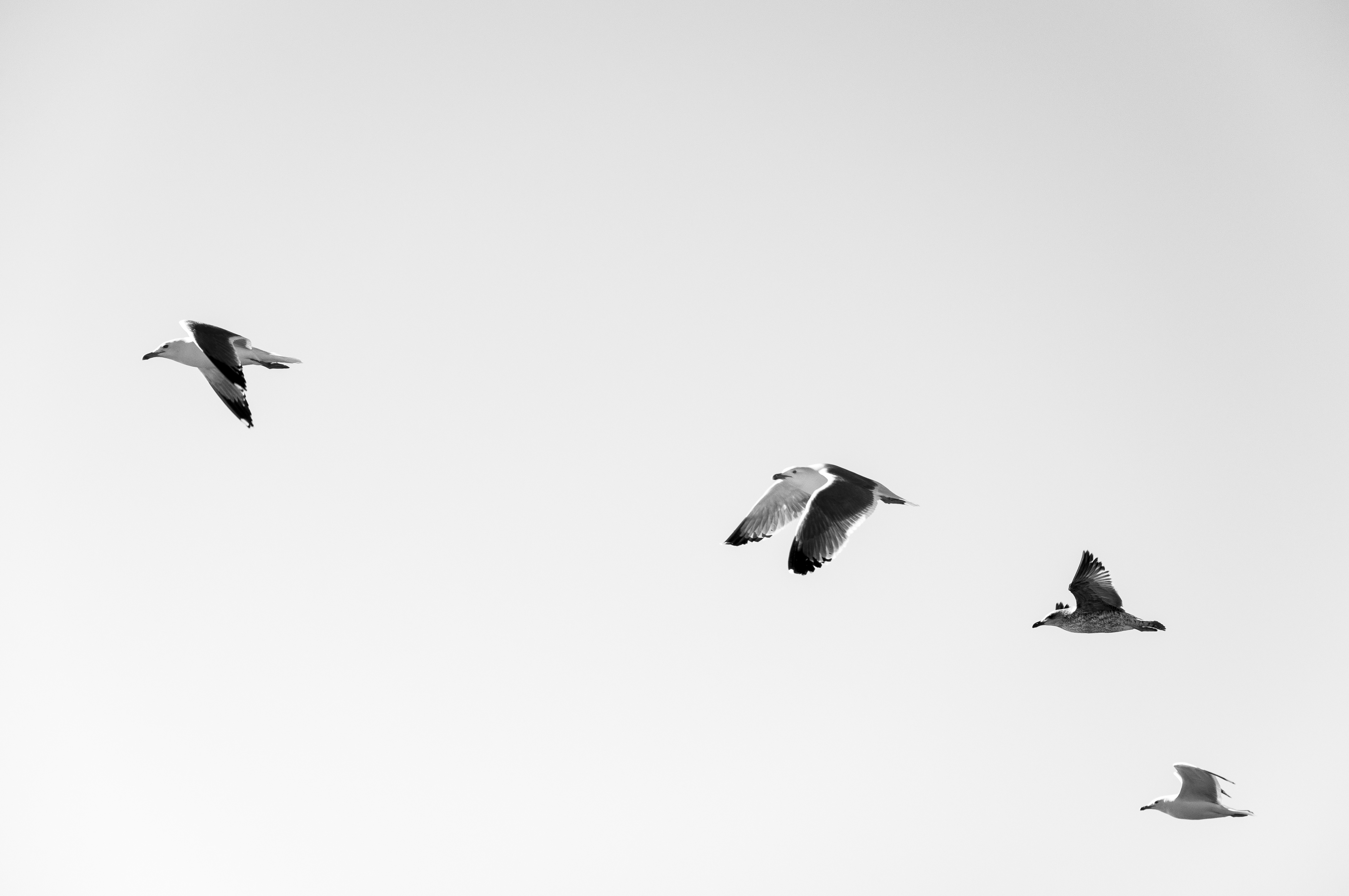 116226 download wallpaper Minimalism, Flight, Sky, Birds, Seagulls screensavers and pictures for free