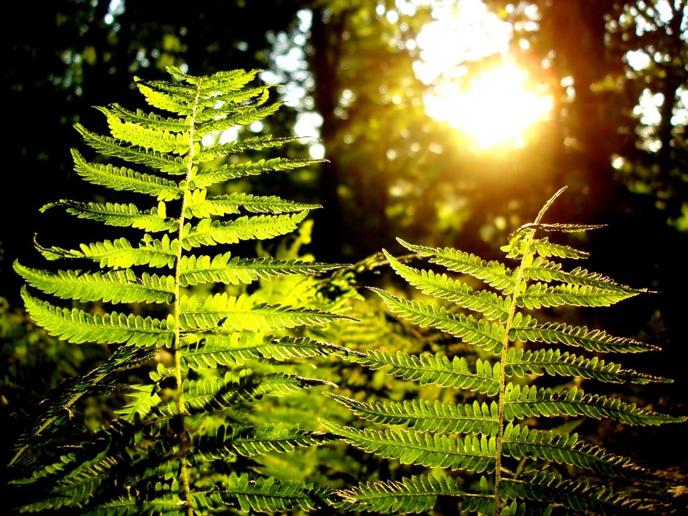 26814 Hintergrundbild herunterladen Pflanzen, Farne - Bildschirmschoner und Bilder kostenlos