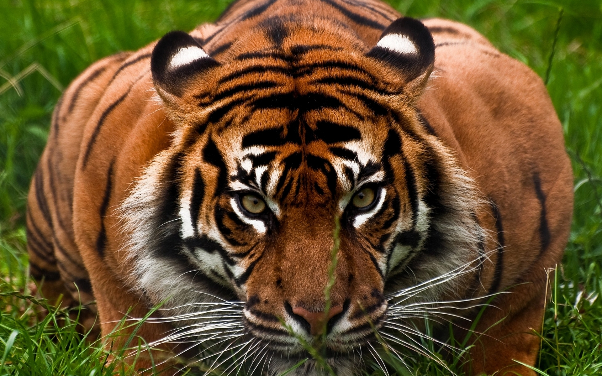 50009 download wallpaper Animals, Tigers screensavers and pictures for free