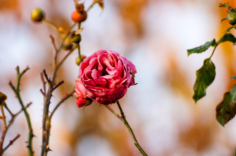 97708 скачать обои Цветы, Роза, Цветок, Бутон, Макро - заставки и картинки бесплатно