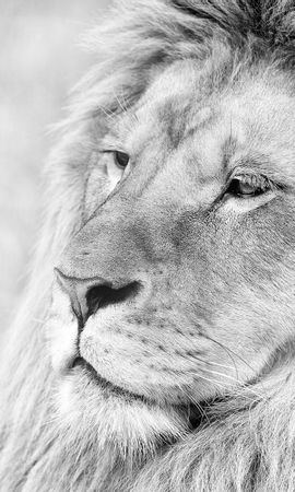 143899 download wallpaper Animals, Lion, Muzzle, Mane, Sight, Opinion, Predator, Bw, Chb screensavers and pictures for free