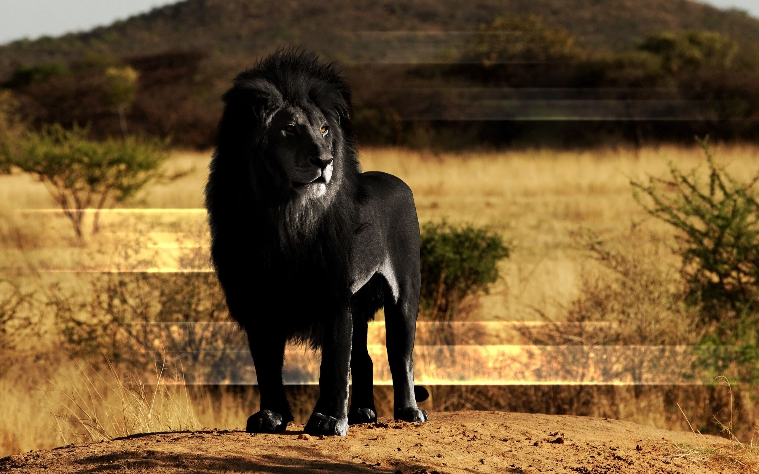 78296 download wallpaper Animals, Rock, Lion, Stone, Mane, Black Lion screensavers and pictures for free