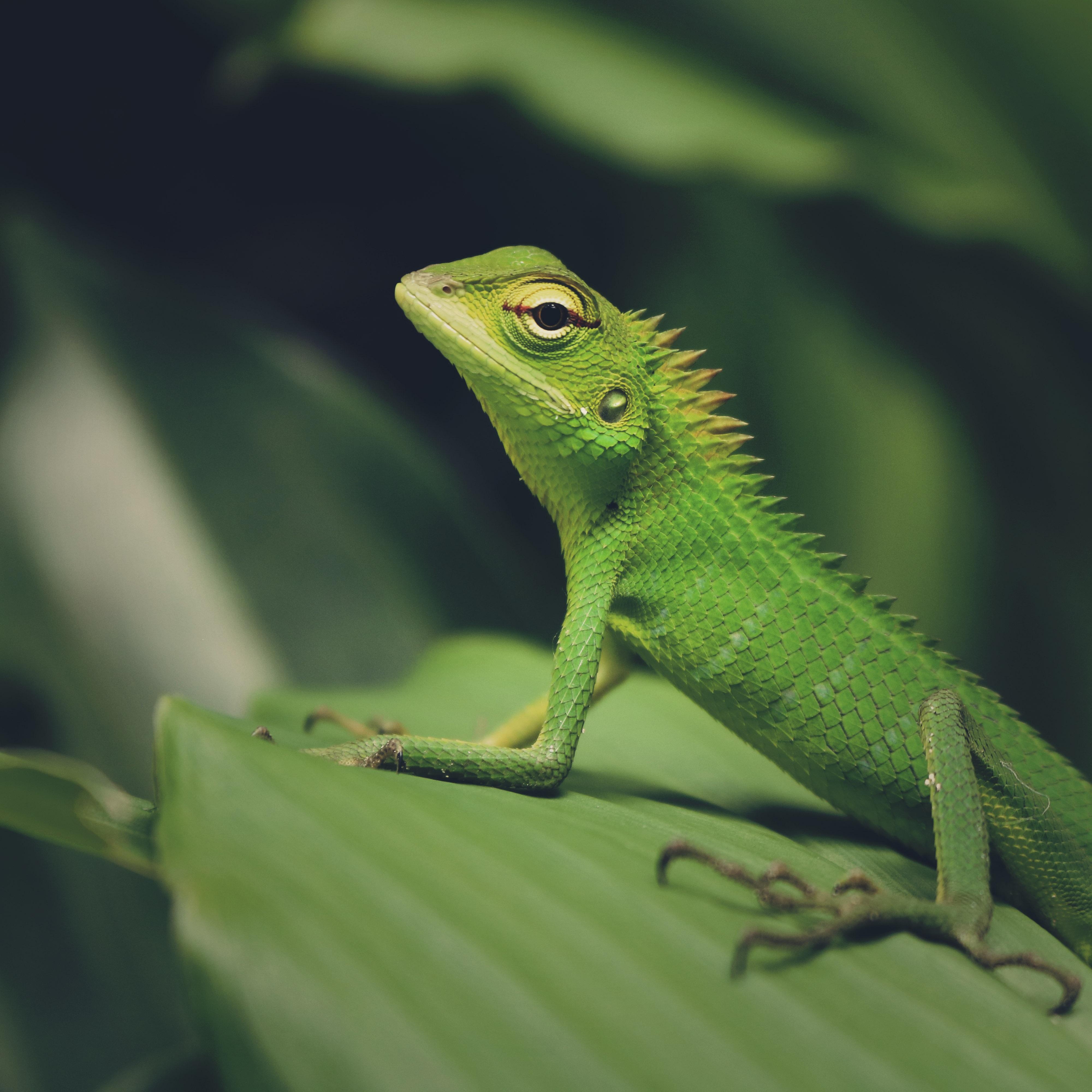 77741 Hintergrundbild herunterladen Tiere, Makro, Eidechse, Reptil, Reptile, Grüne Eidechse - Bildschirmschoner und Bilder kostenlos