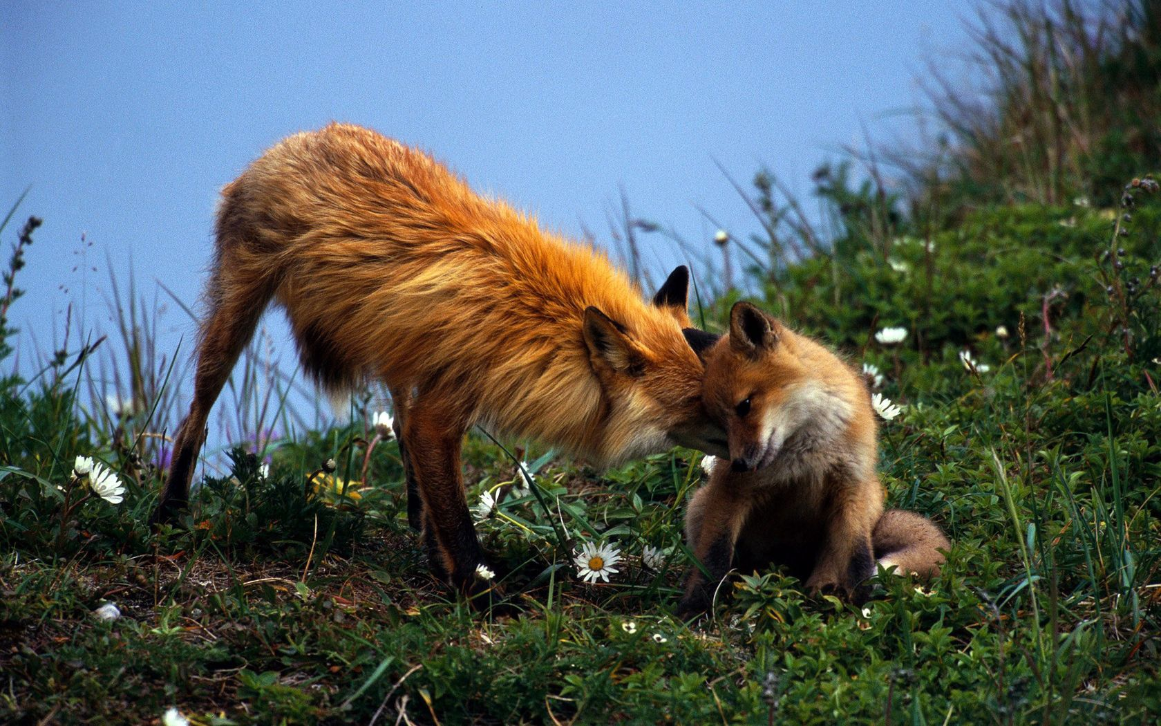 143197 download wallpaper Animals, Fox, Couple, Pair, Grass, Care, Young, Joey, Playful, Flowers screensavers and pictures for free