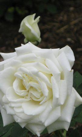 1394 скачать обои Растения, Цветы, Розы - заставки и картинки бесплатно