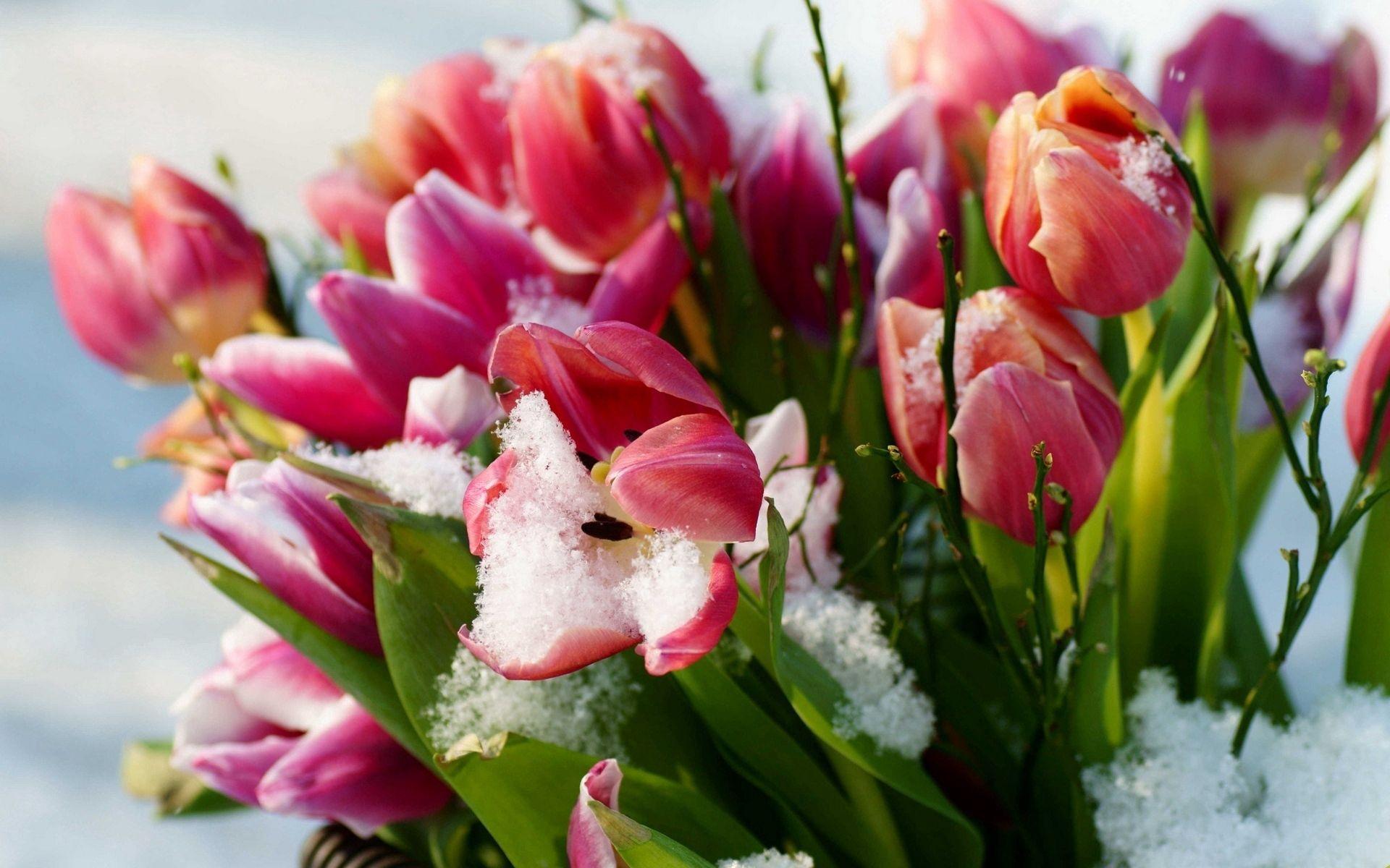 132549 скачать обои Цветы, Снег, Холод, Тюльпаны - заставки и картинки бесплатно
