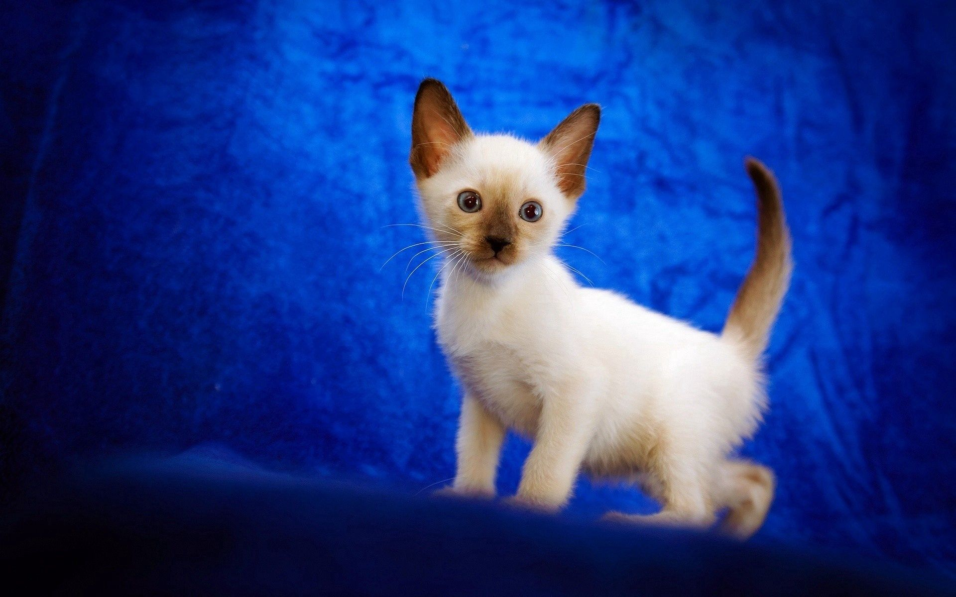 138359 download wallpaper Animals, Kitty, Kitten, Nice, Sweetheart, Siamese, Kid, Tot screensavers and pictures for free