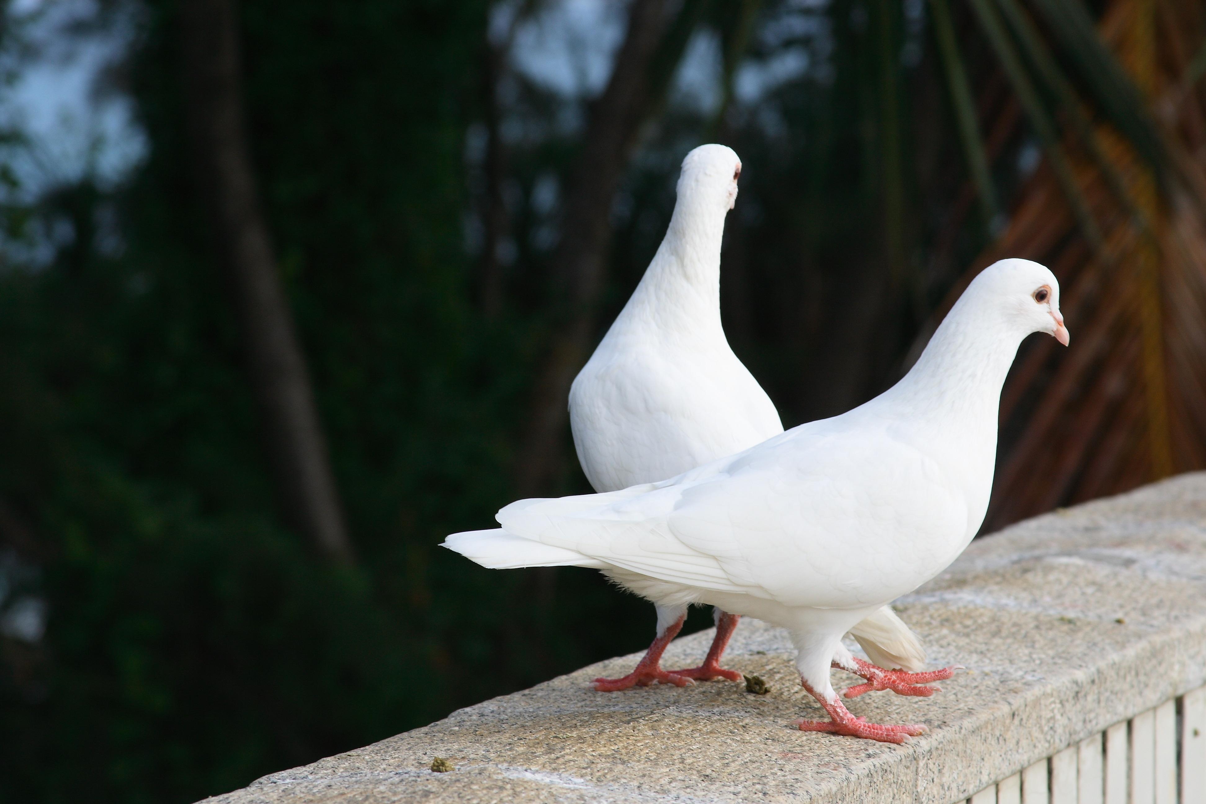 149739 Заставки и Обои Птицы на телефон. Скачать Птицы, Голуби, Животные, Пара, Белоснежные картинки бесплатно