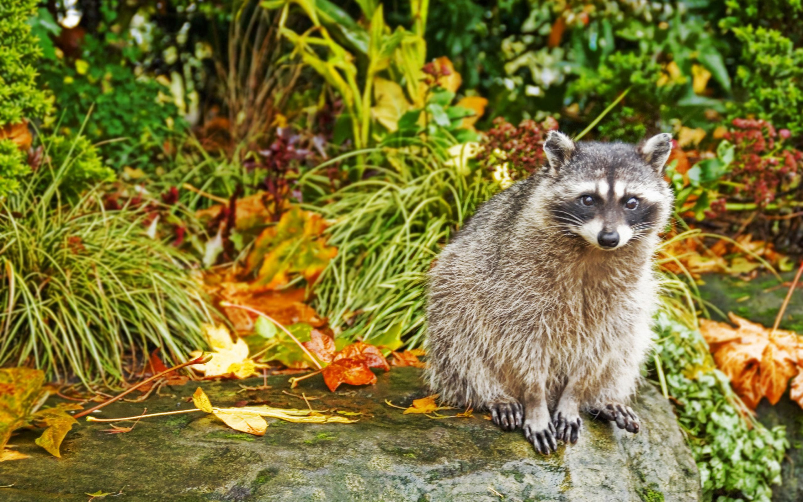 116647 Screensavers and Wallpapers Raccoon for phone. Download Animals, Grass, Autumn, Sit, Raccoon pictures for free