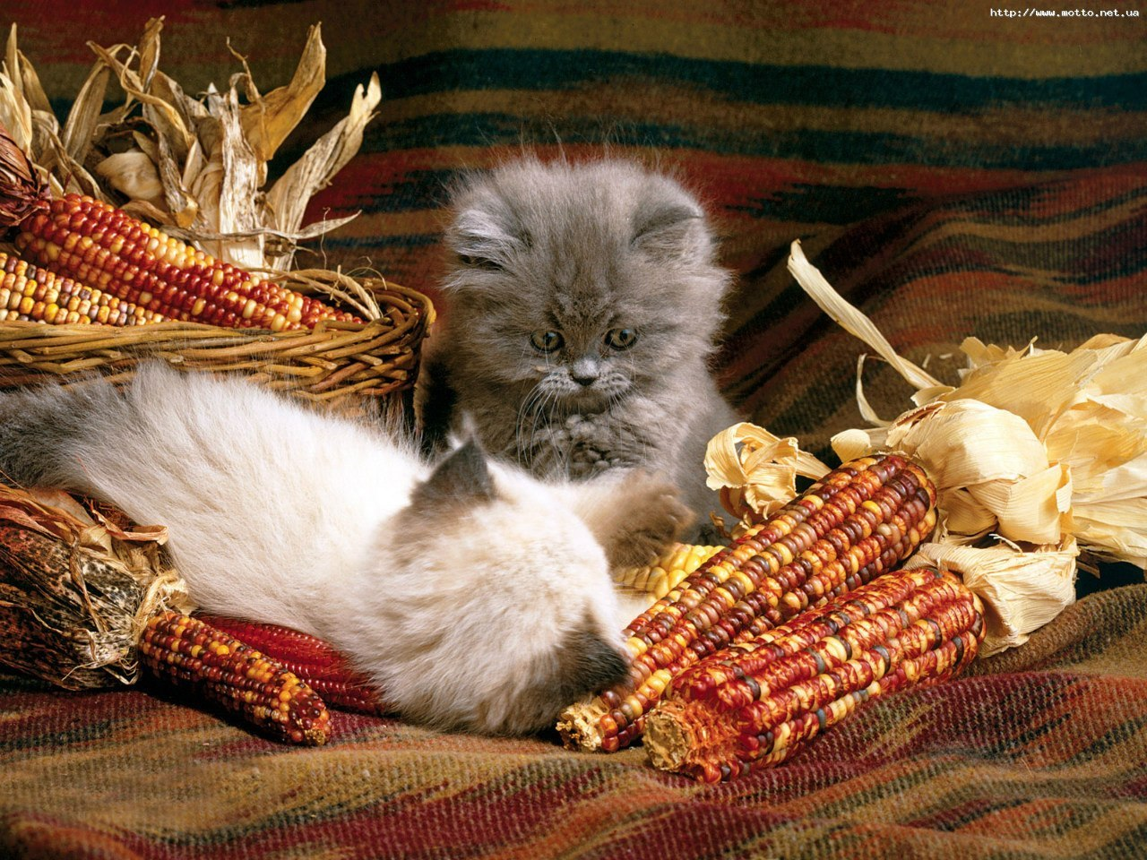 15963 download wallpaper Animals, Cats screensavers and pictures for free