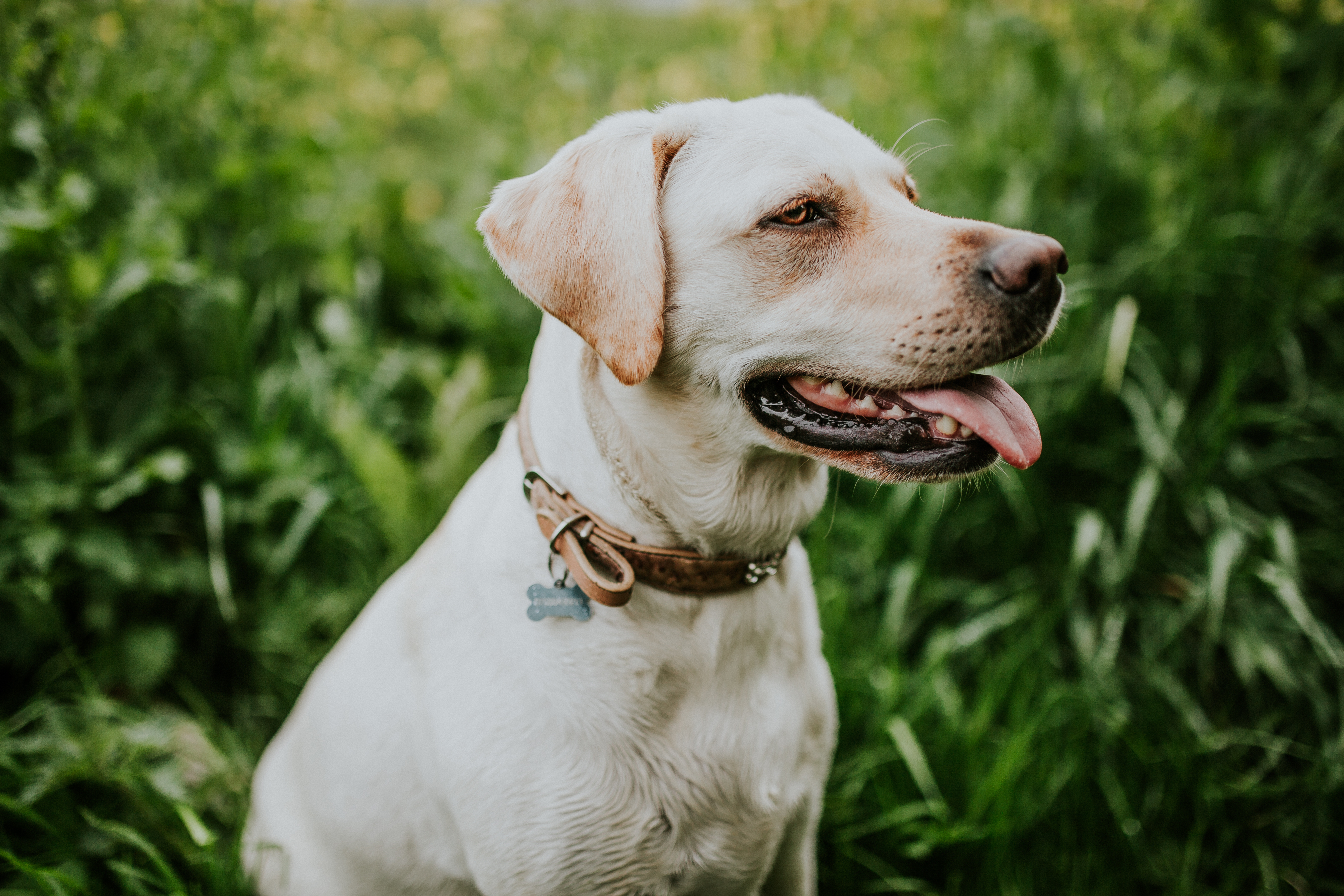 53746 download wallpaper Animals, Labrador, Collar, Dog screensavers and pictures for free