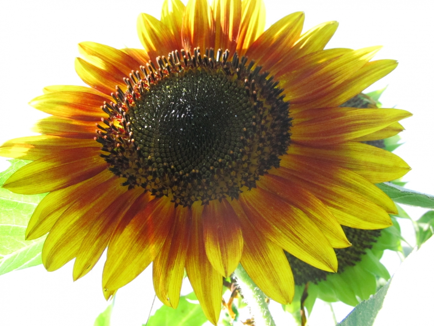 28578 免費下載壁紙 植物, 花卉, 向日葵 屏保和圖片