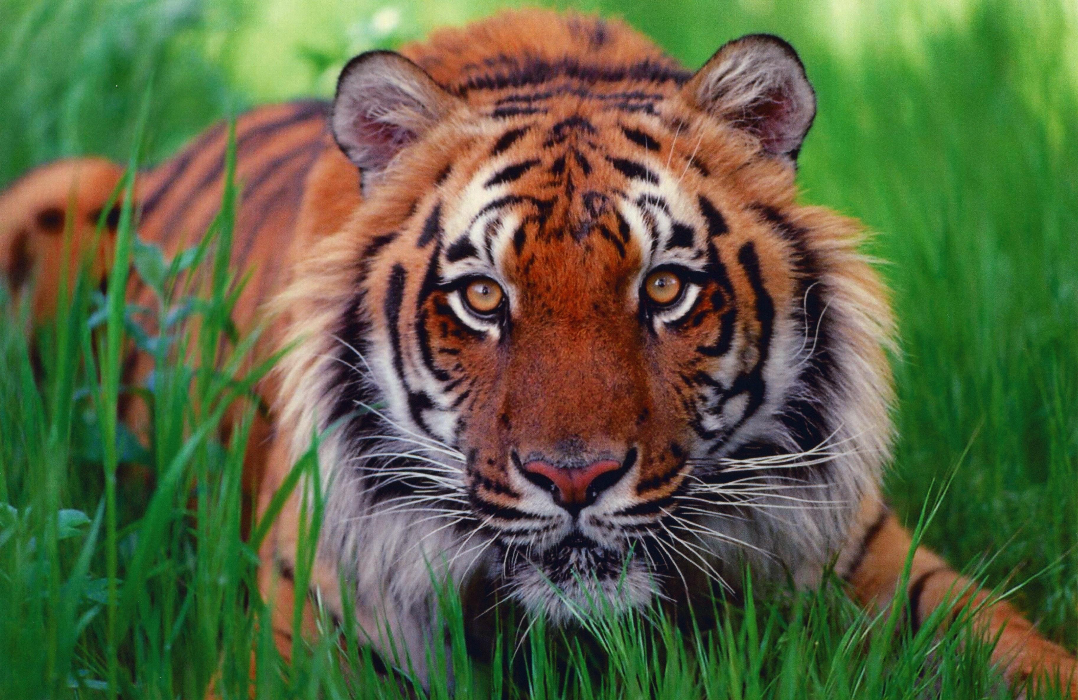 14432 descargar fondo de pantalla Animales, Tigres: protectores de pantalla e imágenes gratis