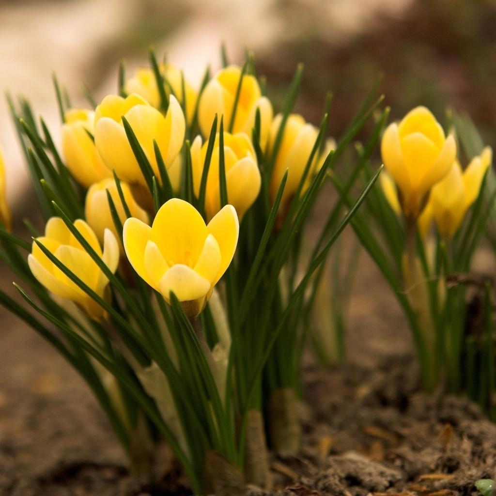 14310 скачать обои Растения, Цветы, Тюльпаны - заставки и картинки бесплатно
