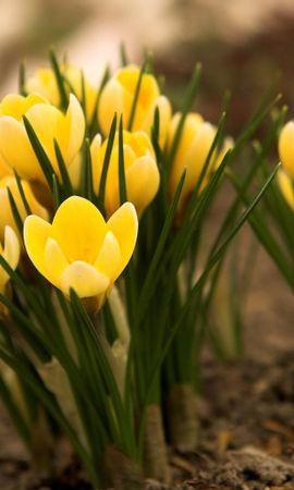 14310 télécharger le fond d'écran Plantes, Fleurs, Tulipes - économiseurs d'écran et images gratuitement