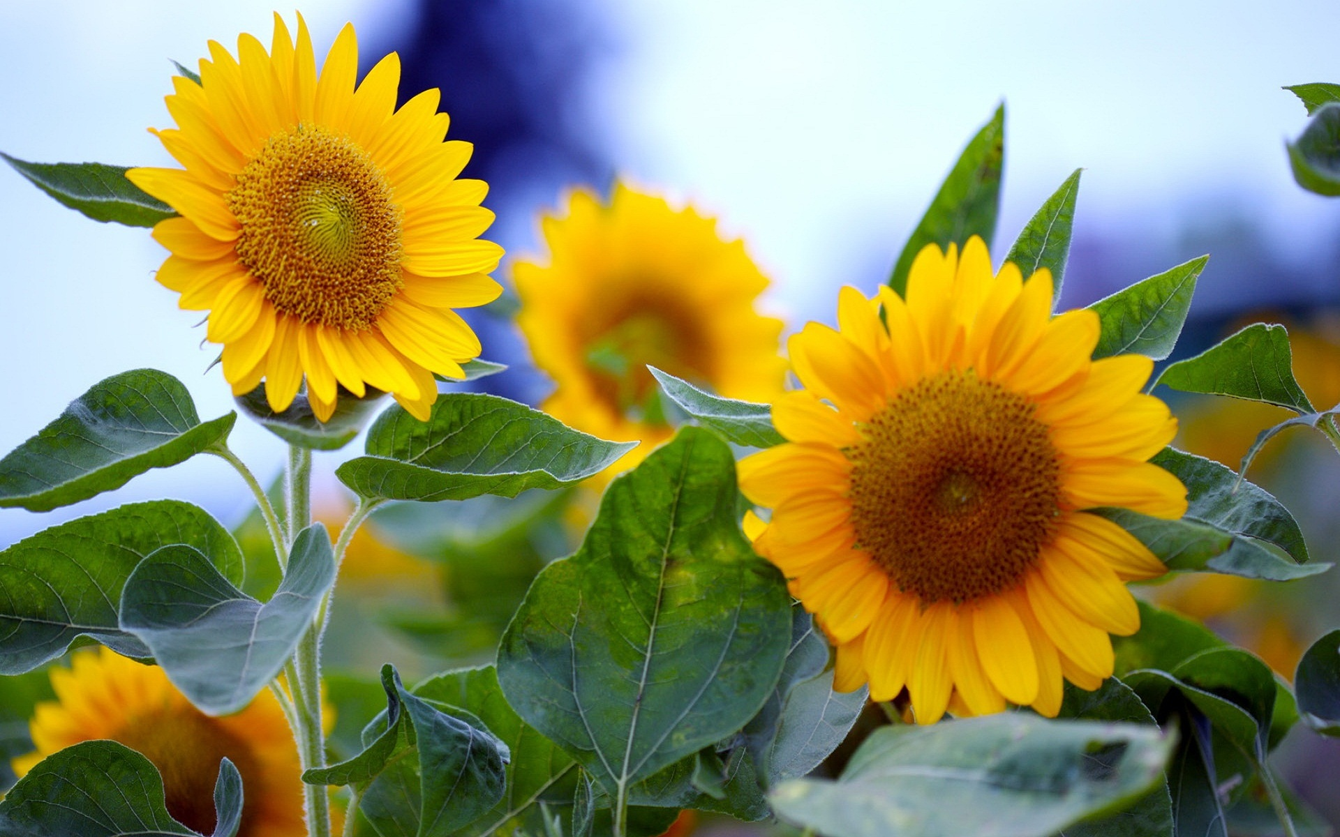 44935 скачать обои Растения, Подсолнухи - заставки и картинки бесплатно