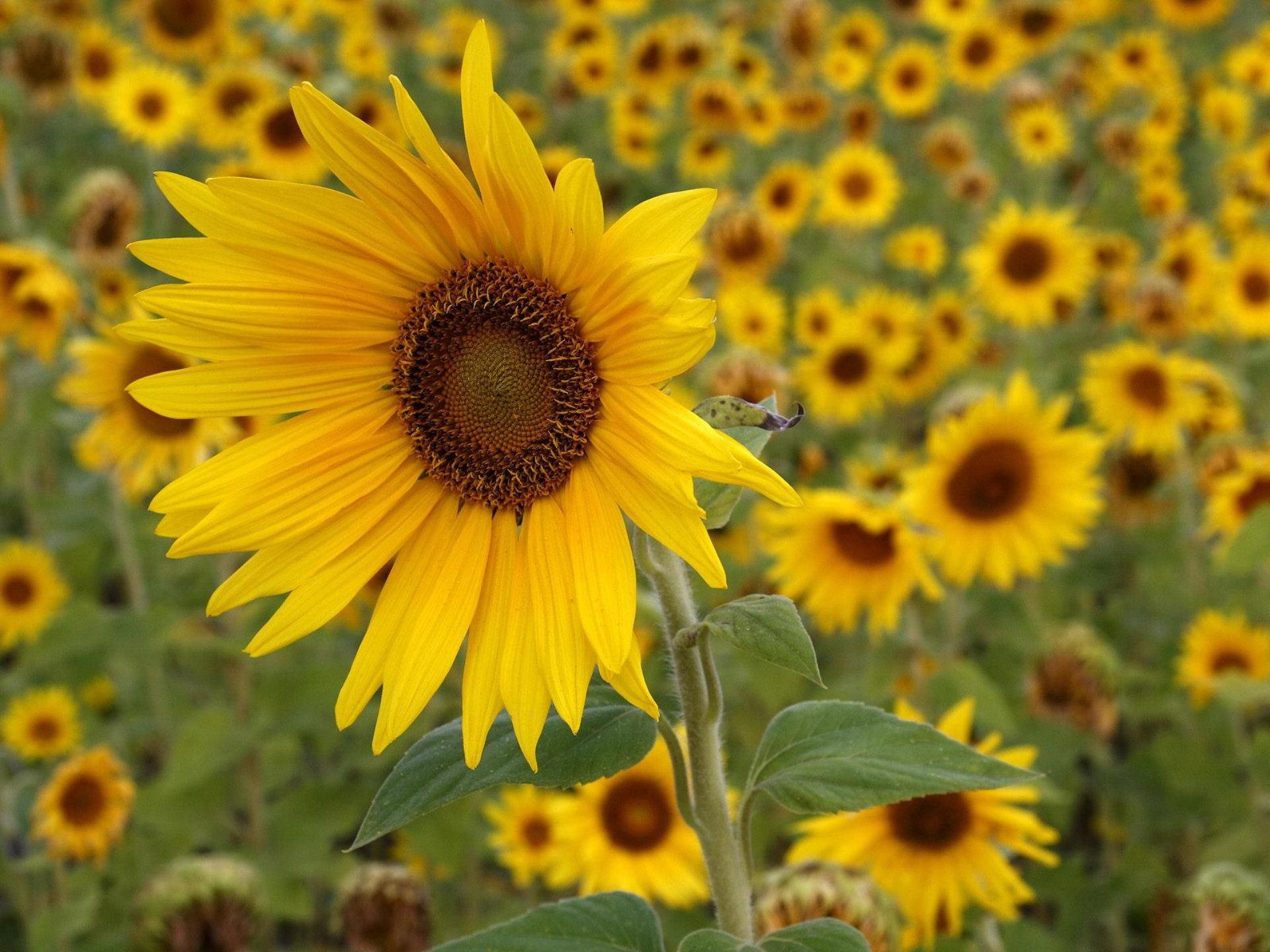 40473 descargar fondo de pantalla Plantas, Flores, Girasoles: protectores de pantalla e imágenes gratis