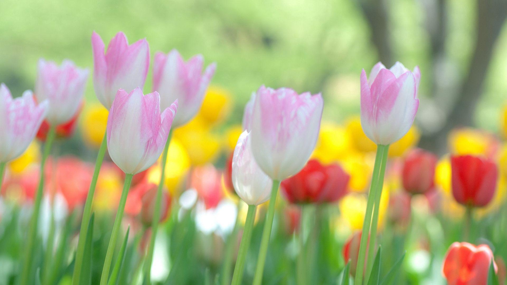 142982 descargar fondo de pantalla Flores, Campo, Hierba, Tulipanes: protectores de pantalla e imágenes gratis