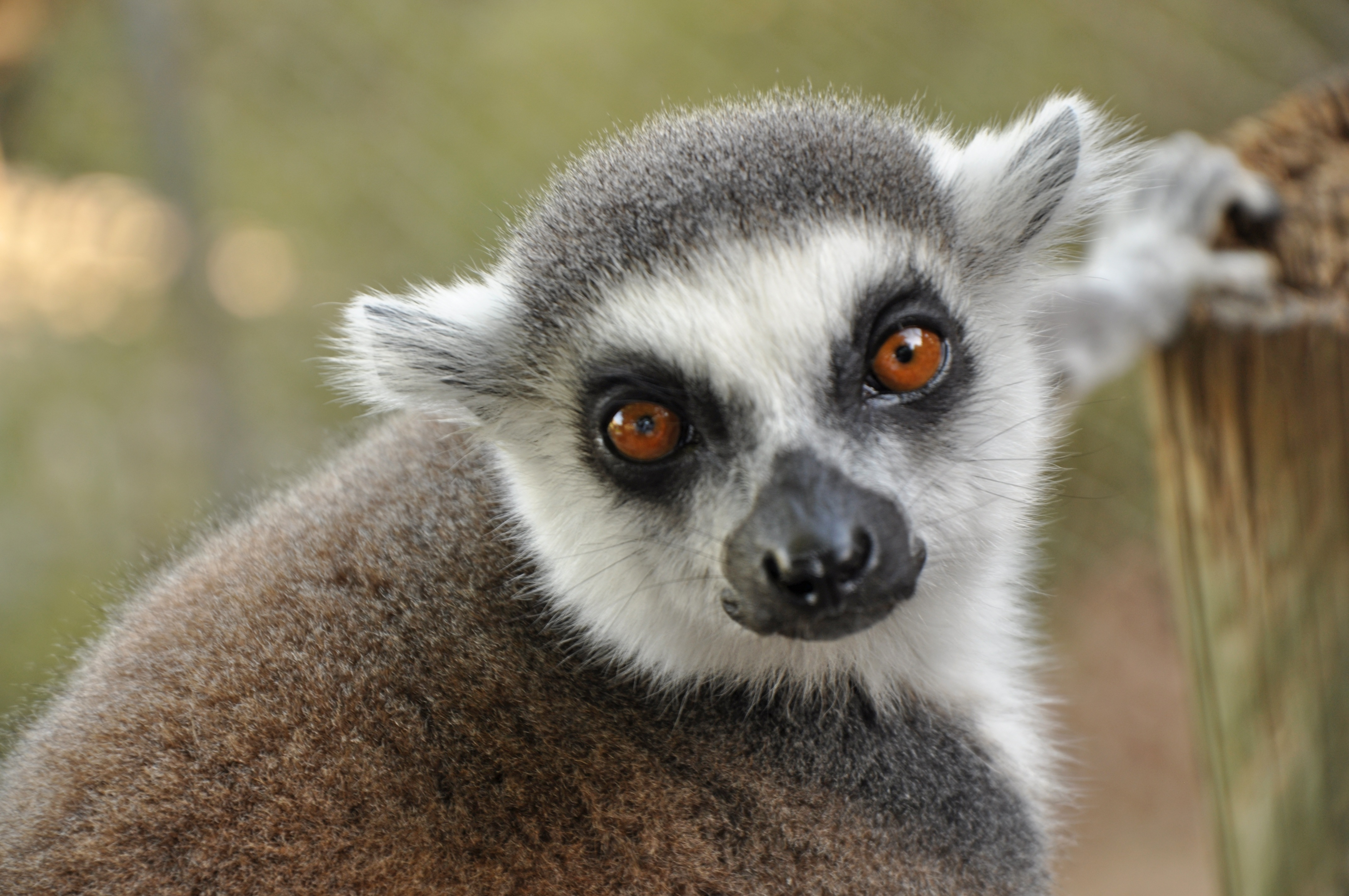 123406 download wallpaper Animals, Lemur, Muzzle, Sight, Opinion screensavers and pictures for free