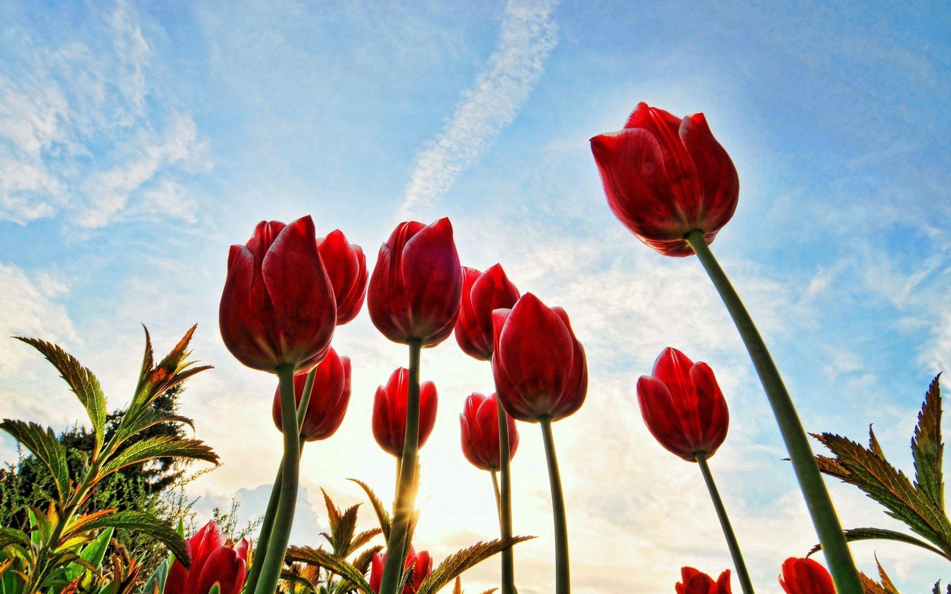 84179 скачать обои Тюльпаны, Цветы, Деревья, Трава, Небо, Облака, Солнышко - заставки и картинки бесплатно