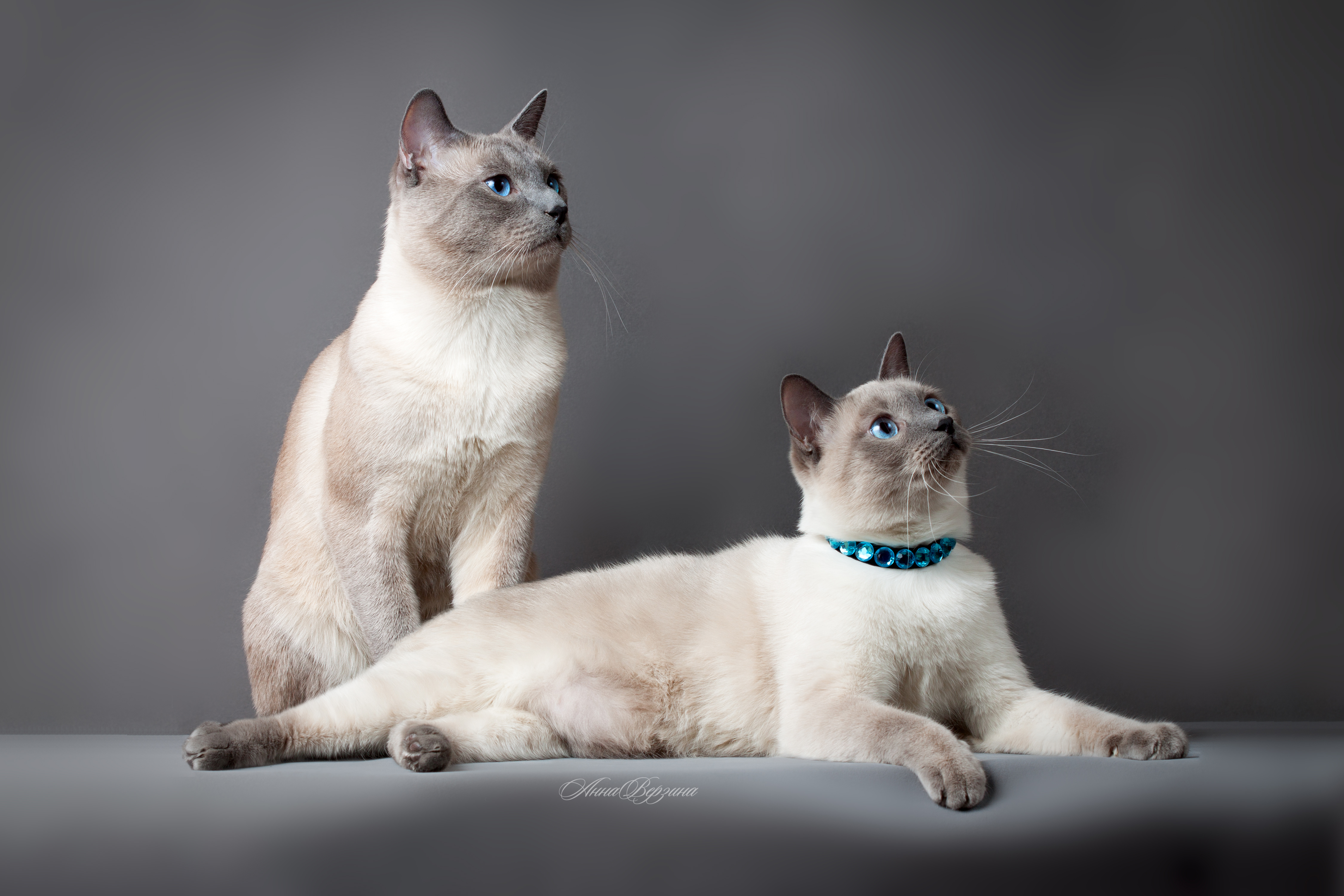 104601 Screensavers and Wallpapers Cats for phone. Download Animals, Thai Cat, Cats, Couple, Pair, Beautiful, Pedigree pictures for free