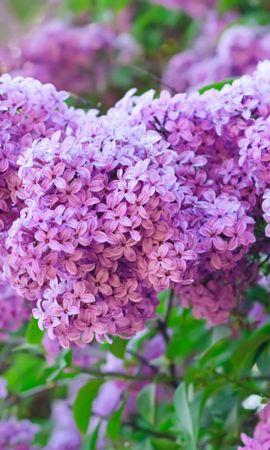 29636 descargar fondo de pantalla Plantas, Flores, Lila, Violeta: protectores de pantalla e imágenes gratis