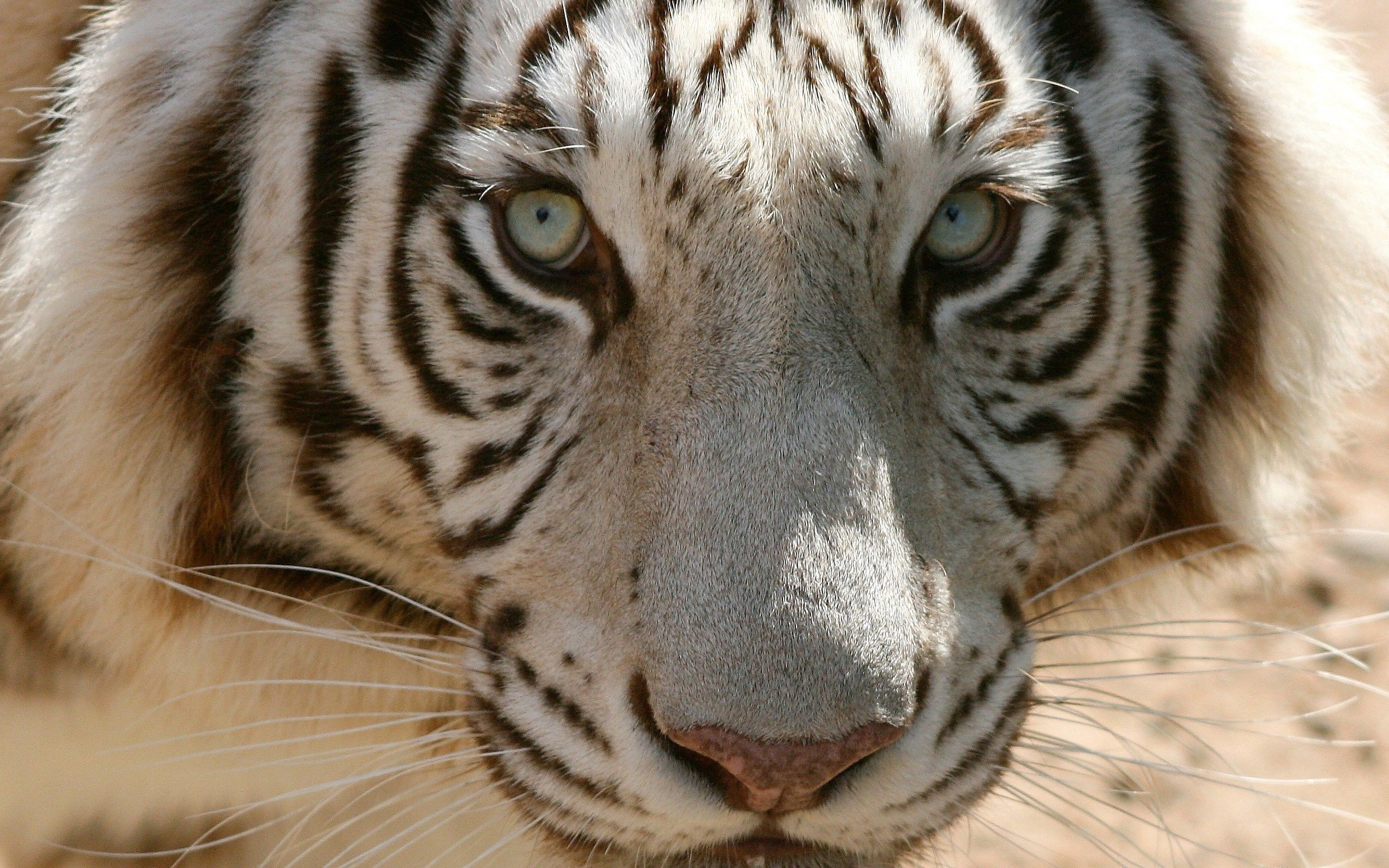 81473 download wallpaper Animals, Tiger, Muzzle, Sight, Opinion, Predator screensavers and pictures for free
