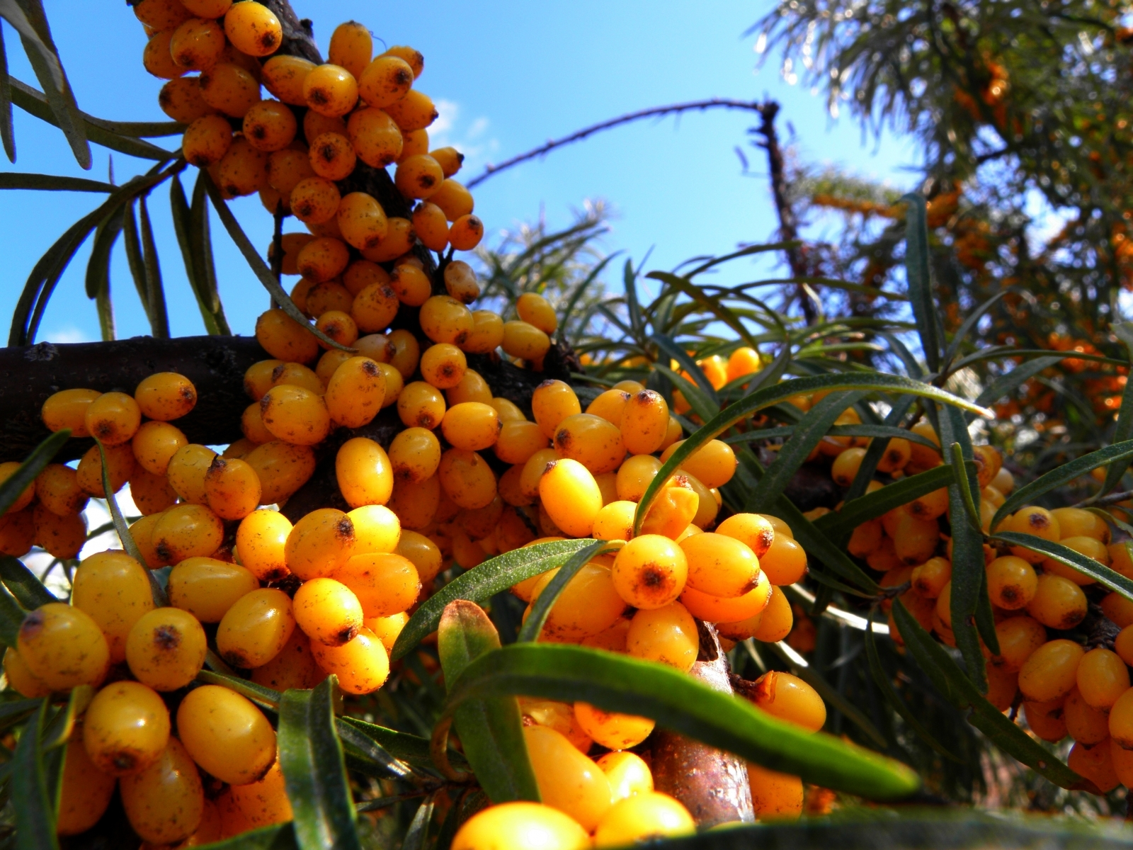 3851 download wallpaper Plants, Food, Berries screensavers and pictures for free