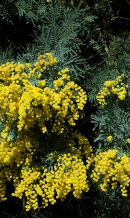 146610 baixar papel de parede Flores, Mimosa, Arbusto, Primavera, Beleza - protetores de tela e imagens gratuitamente