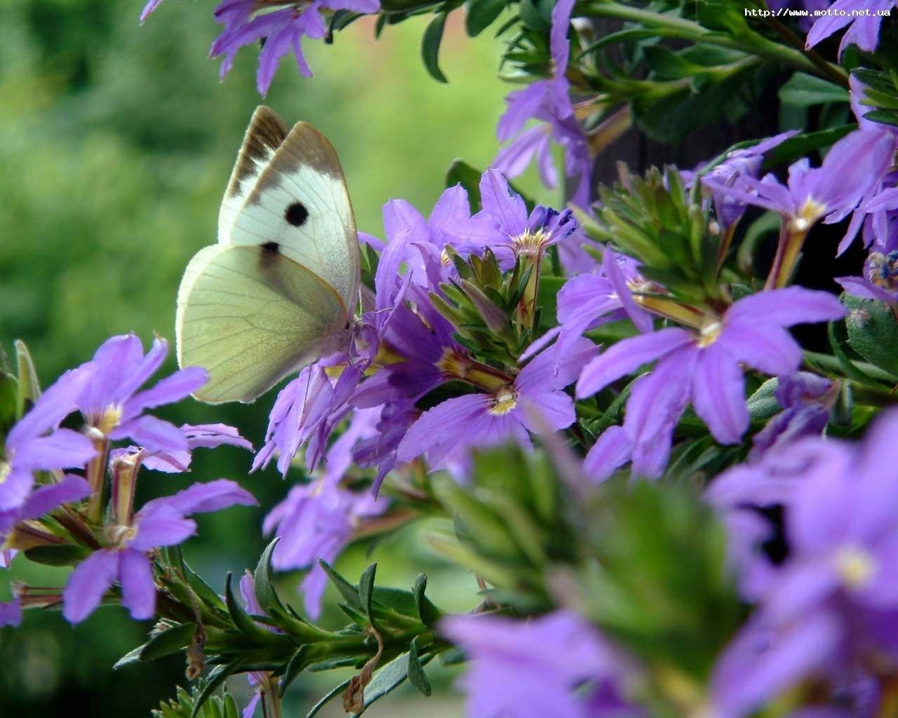 6384 скачать обои Бабочки, Цветы, Насекомые - заставки и картинки бесплатно