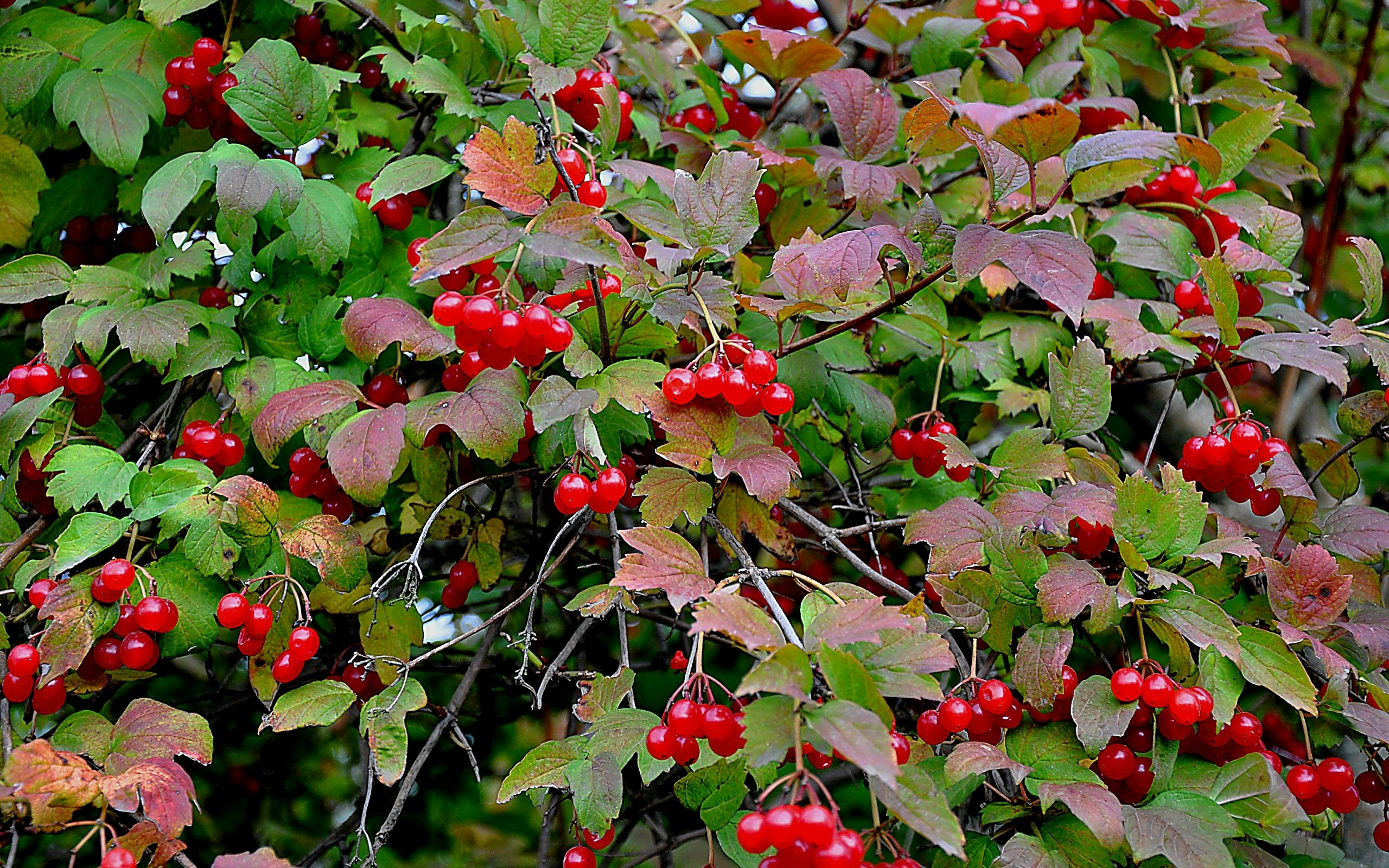 40533 download wallpaper Plants, Berries screensavers and pictures for free