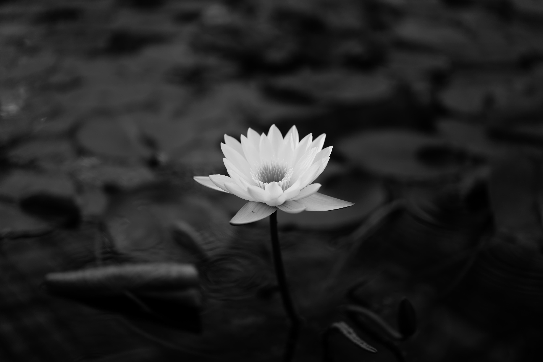 106990 Hintergrundbild herunterladen Blumen, Blätter, Lotus, Bw, Chb, Seerose - Bildschirmschoner und Bilder kostenlos
