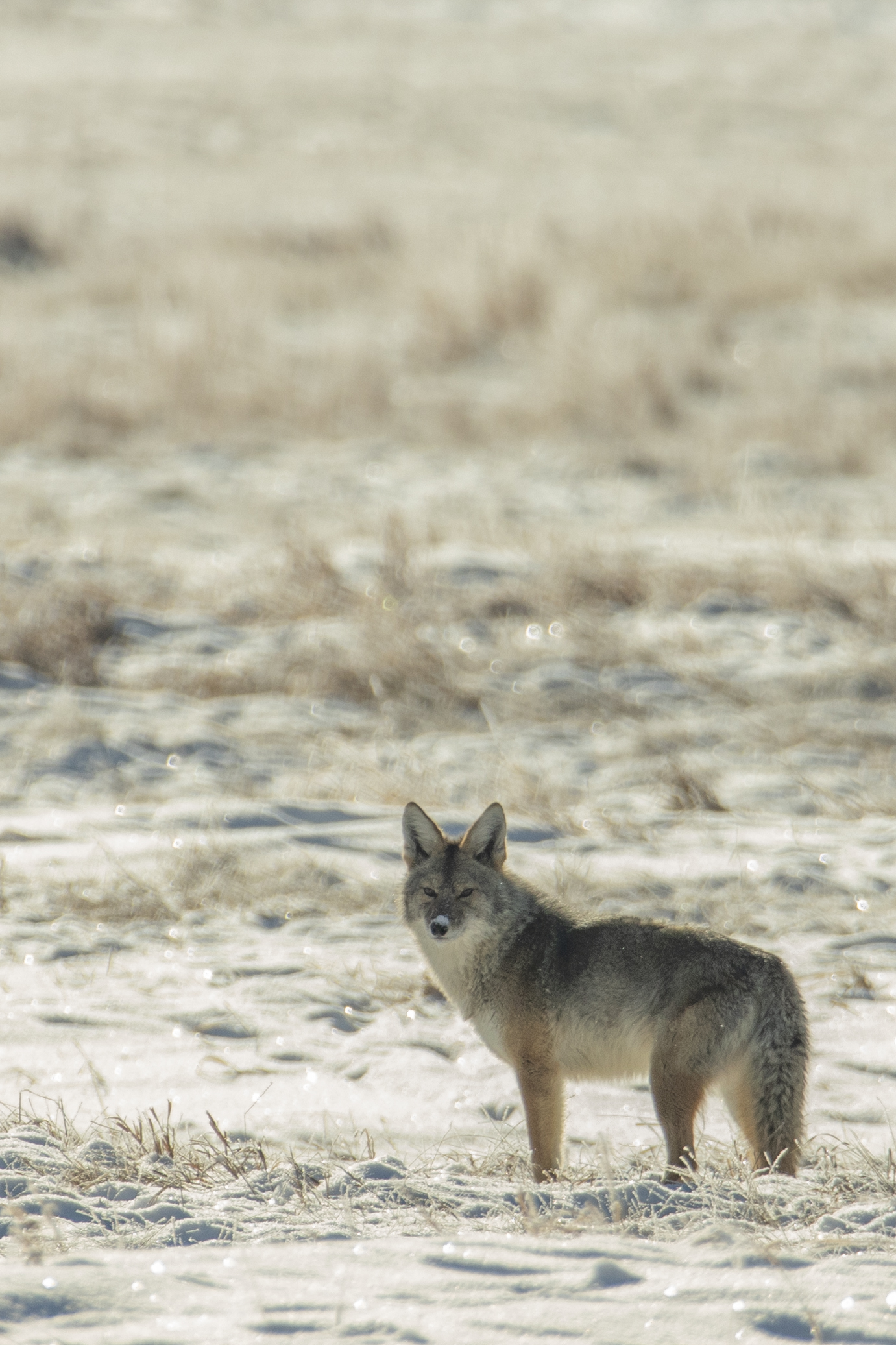 74572 download wallpaper Animals, Coyote, Animal, Grey, Snow, Winter, Wildlife screensavers and pictures for free