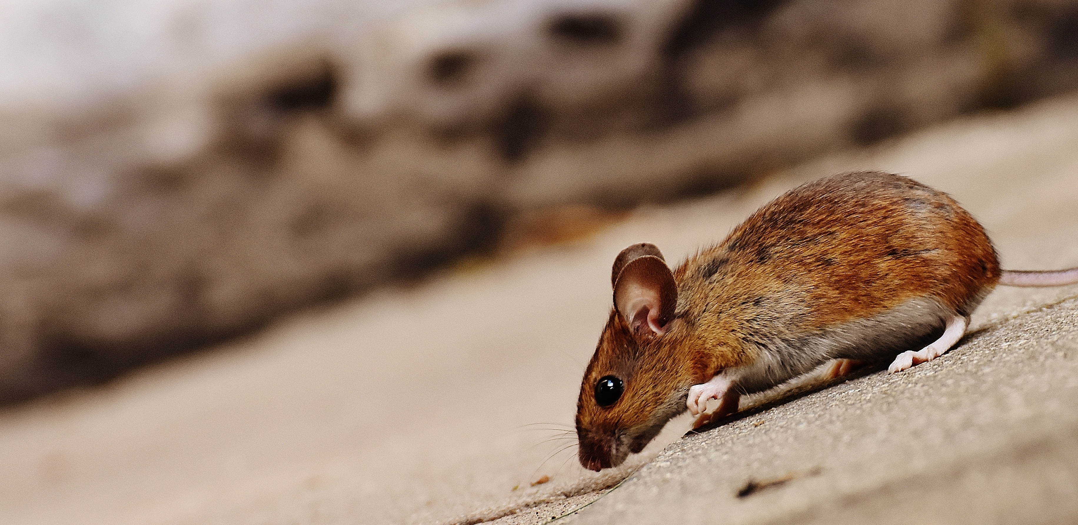 124353 download wallpaper Animals, Mouse, Rodent, Hillock, Descent screensavers and pictures for free