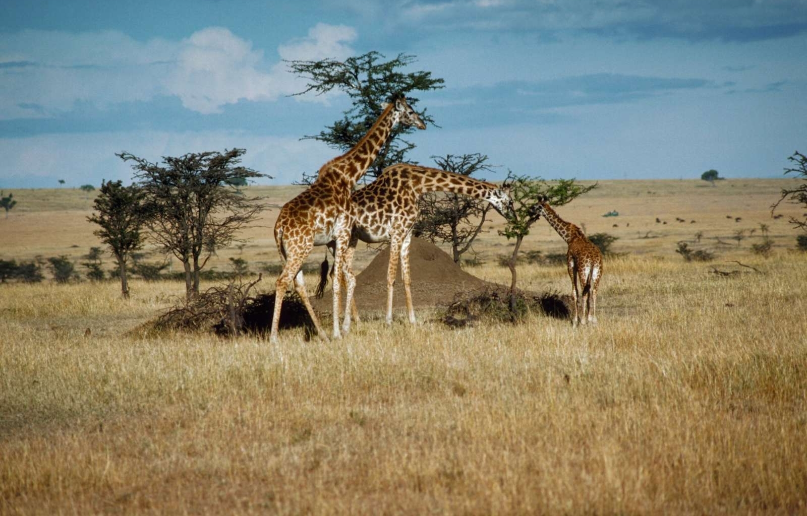 46220 download wallpaper Animals, Landscape, Giraffes screensavers and pictures for free