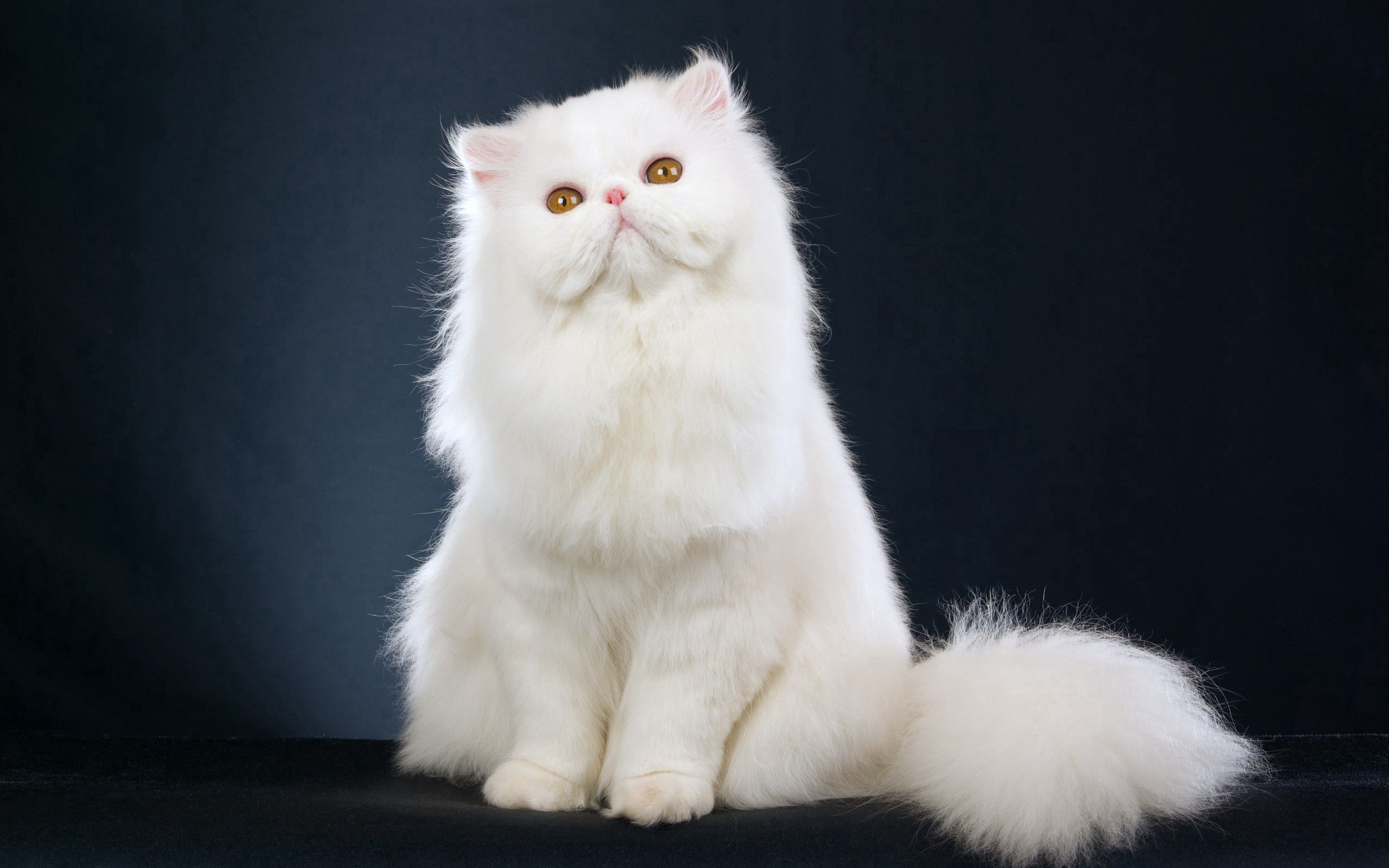 112449 Screensavers and Wallpapers Fluffy for phone. Download Animals, Cat, Fluffy, Beautiful, Is Sitting, Sits pictures for free