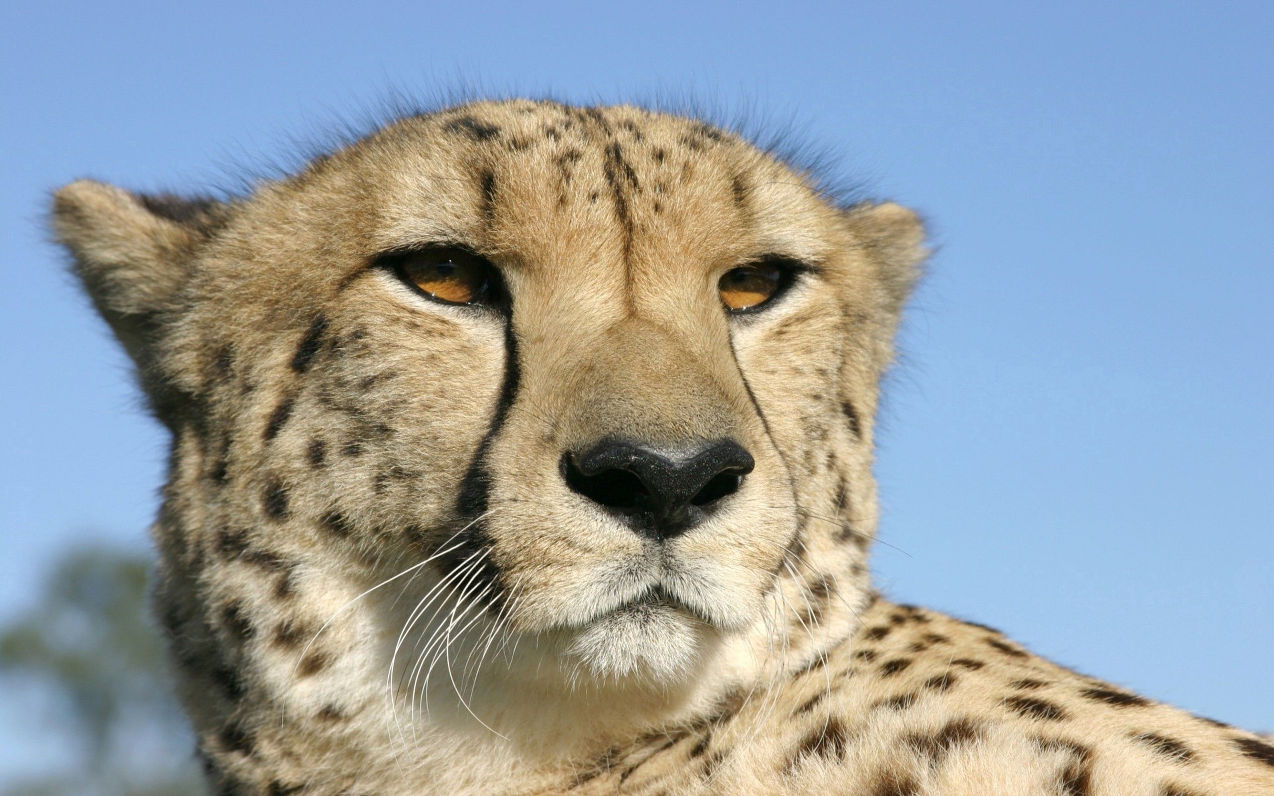 125235 download wallpaper Animals, Cheetah, Muzzle, Color, Spotted, Spotty screensavers and pictures for free