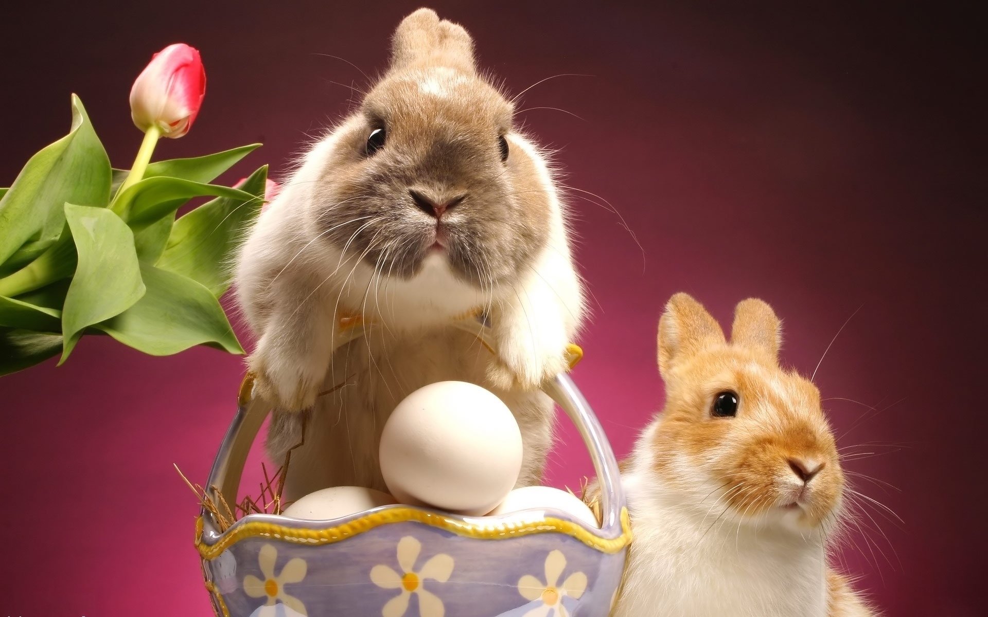 24071 download wallpaper Animals, Rabbits screensavers and pictures for free