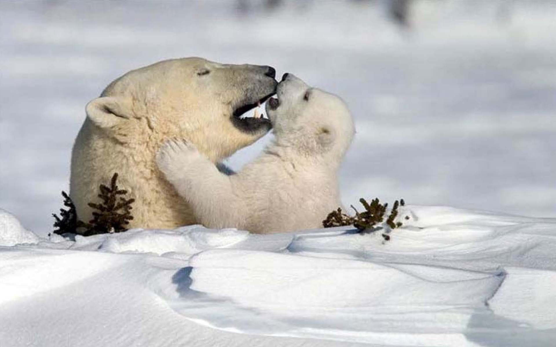 45473 download wallpaper Animals, Winter, Snow, Bears screensavers and pictures for free