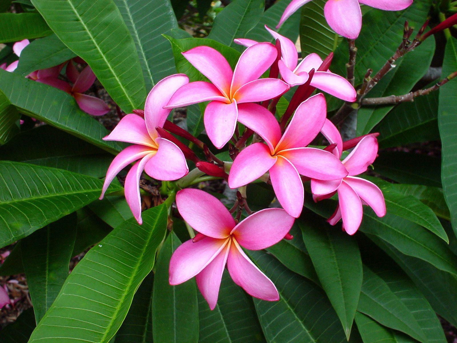 94620 скачать обои Цветы, Плюмерия, Розовая, Листья, Нежность - заставки и картинки бесплатно