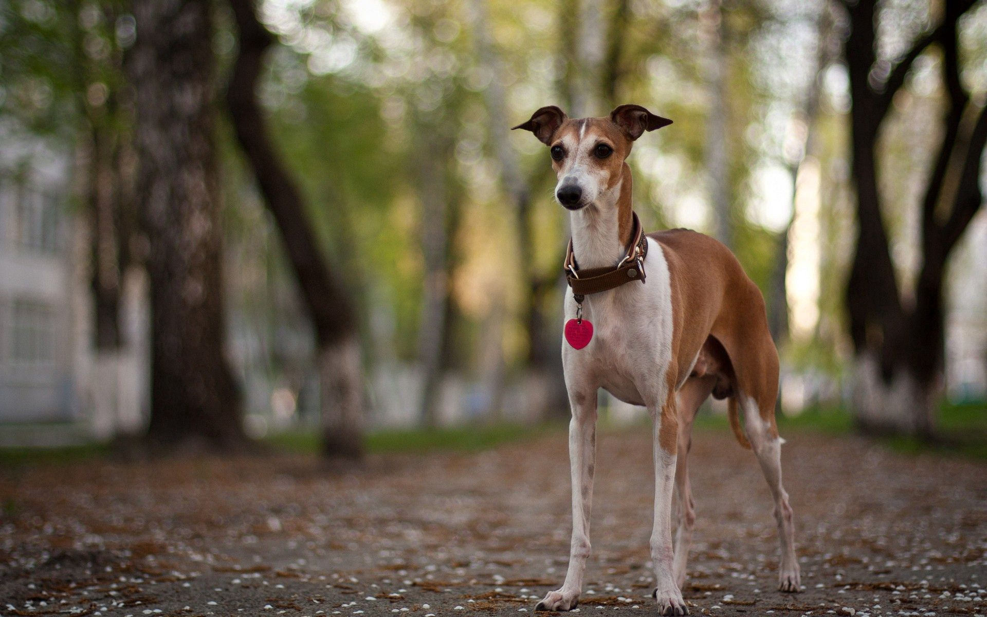 79403 download wallpaper Animals, Dog, Forest, Stroll, Collar, Hunting, Hunt, Color screensavers and pictures for free