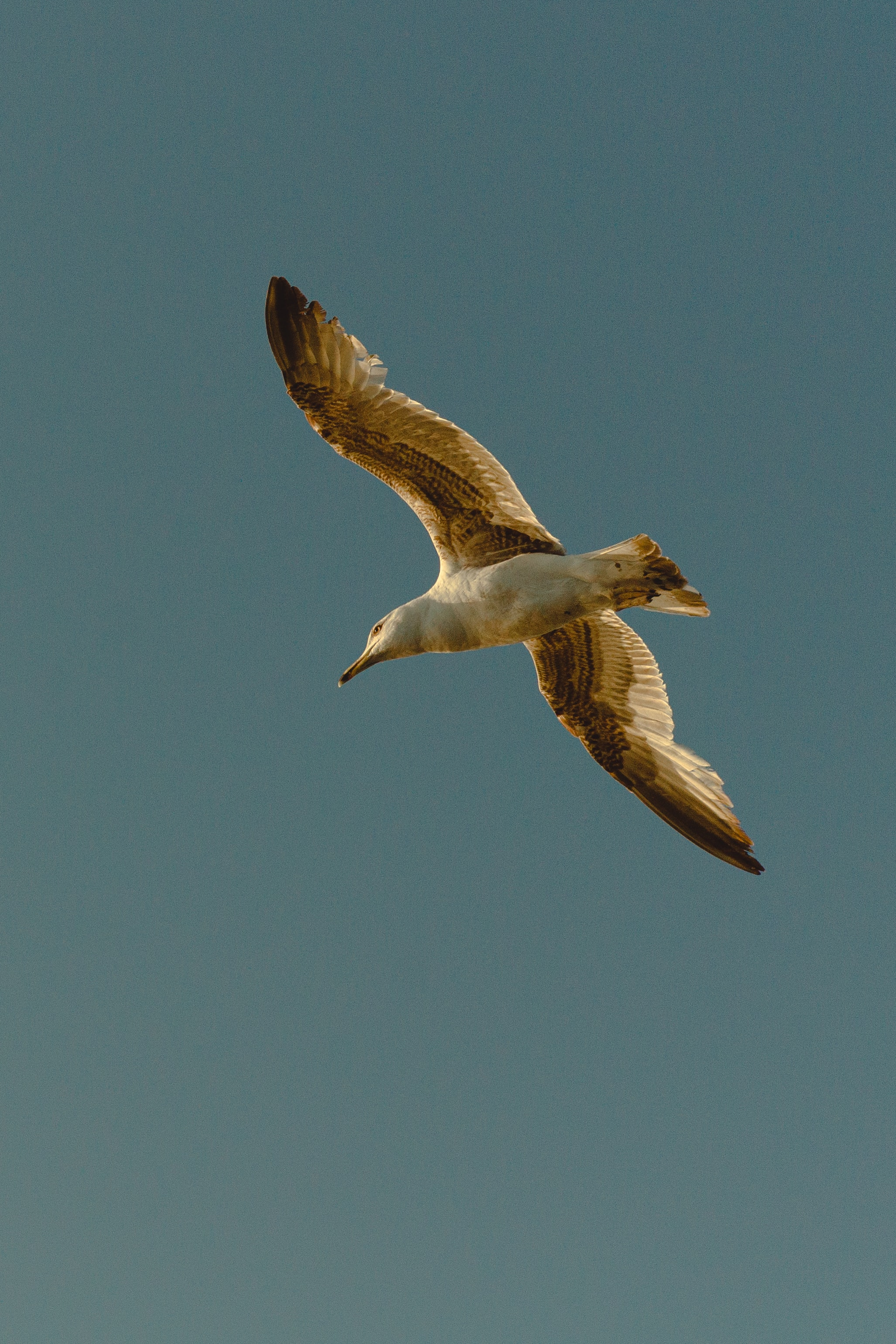 101101 download wallpaper Animals, Gull, Seagull, Bird, Flight, Wings, Sky screensavers and pictures for free