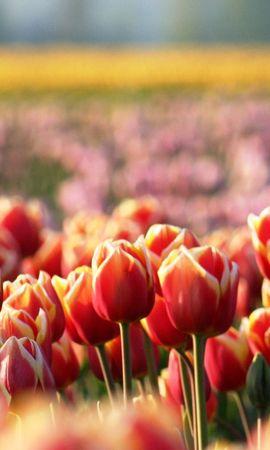 14479 скачать обои Растения, Цветы, Тюльпаны - заставки и картинки бесплатно