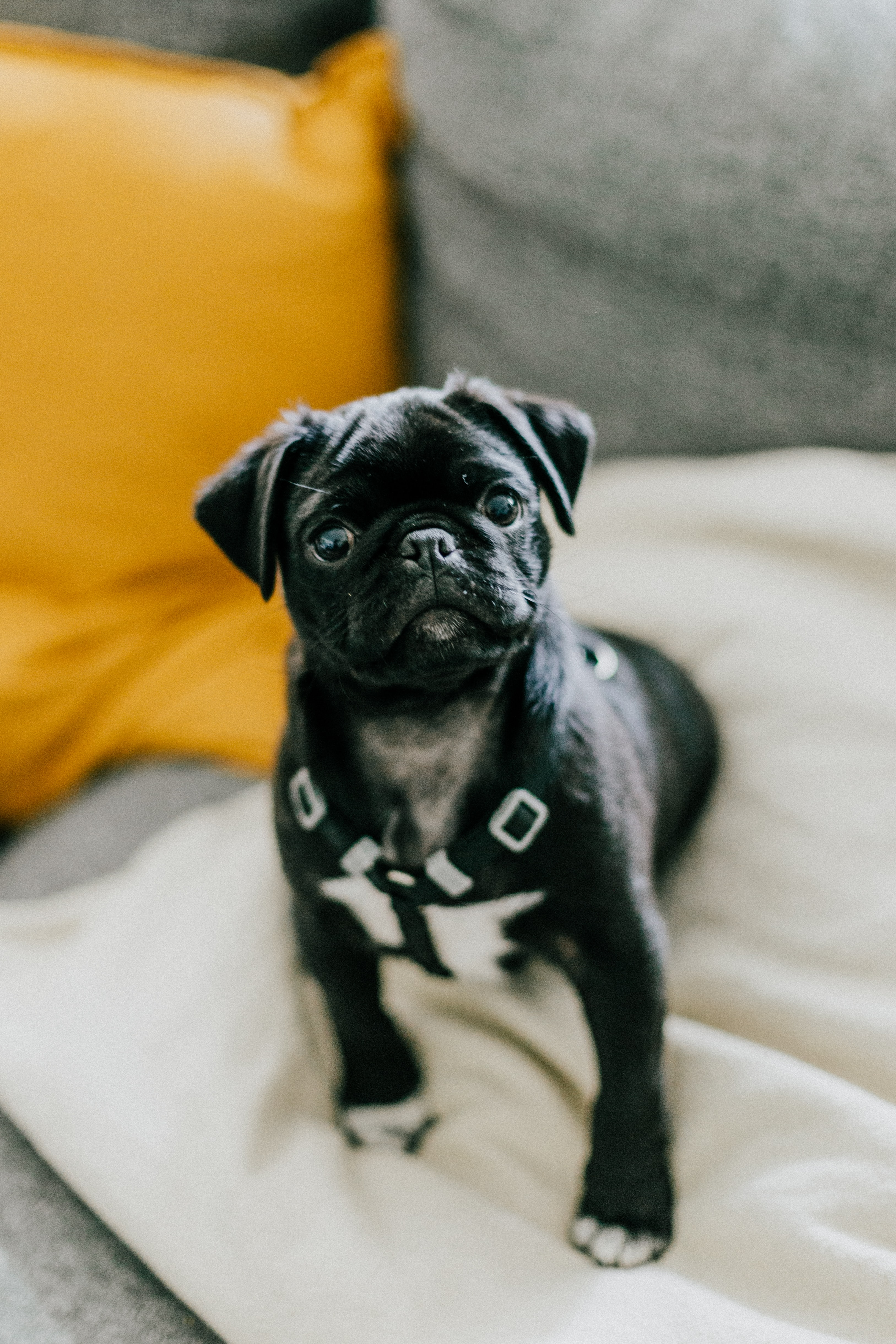 112227 download wallpaper Animals, Pug, Dog, Puppy, Pet screensavers and pictures for free