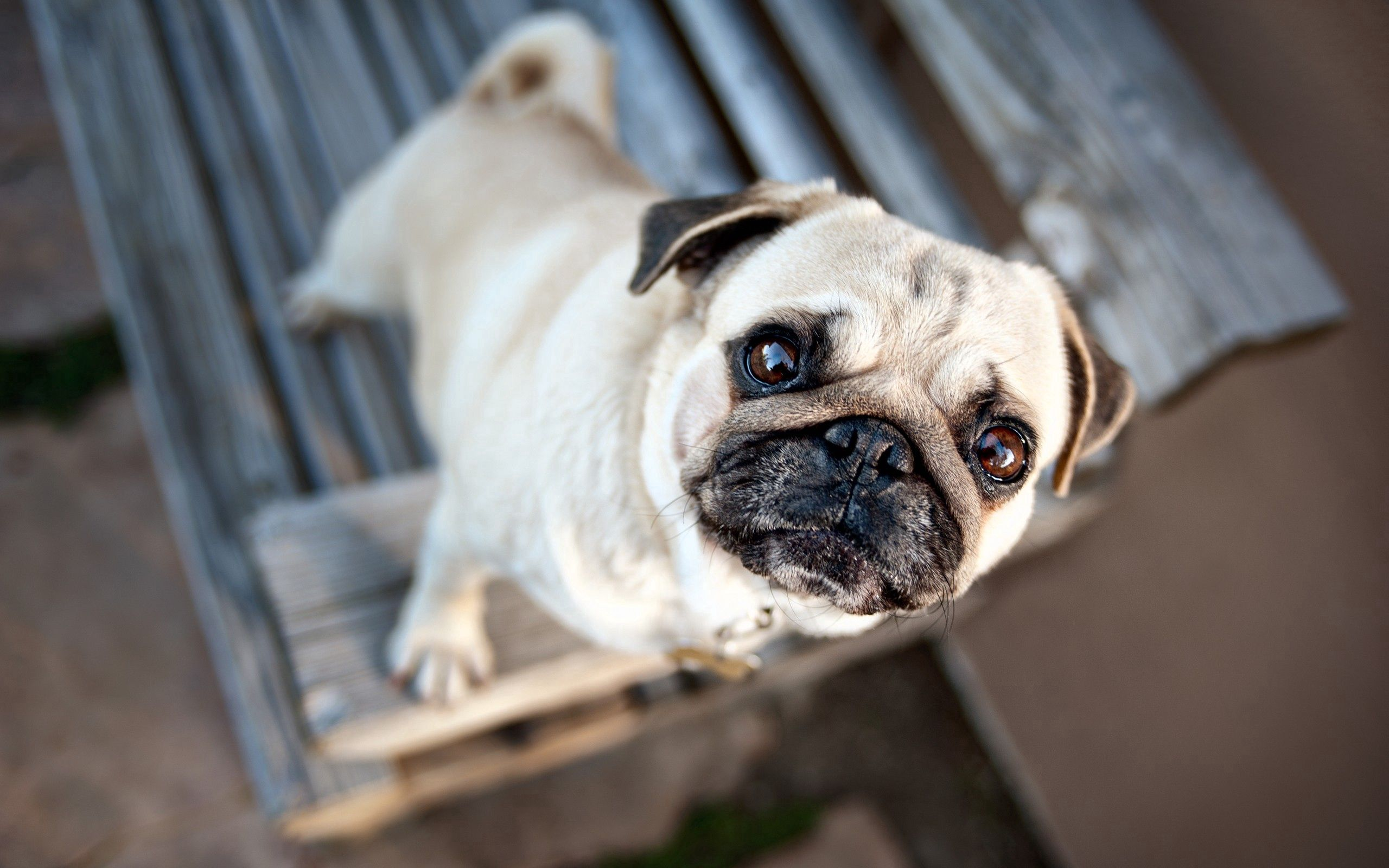 66624 download wallpaper Animals, Pug, Muzzle, Dog, Expectation, Waiting, Puppy screensavers and pictures for free