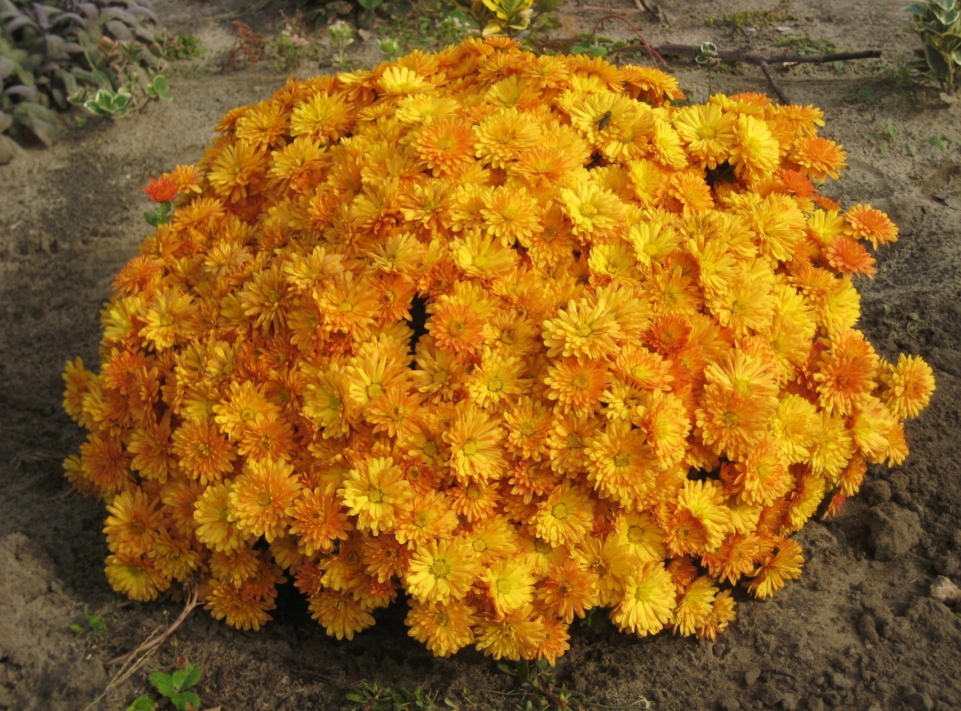 71542 скачать обои Хризантемы, Цветы, Клумба, Шар, Сад, Грунт - заставки и картинки бесплатно