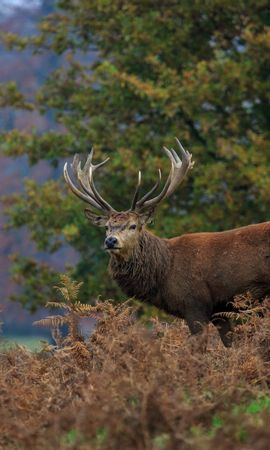 131731 download wallpaper Animals, Deer, Horns, Forest, Thickets, Thicket screensavers and pictures for free