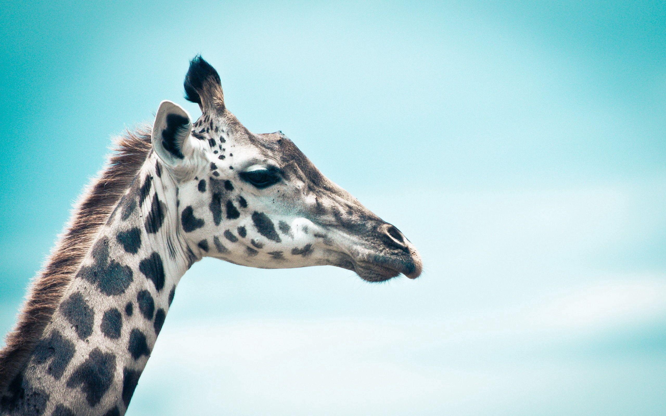 112810 скачать обои Животные, Жираф, Небо, Морда, Профиль - заставки и картинки бесплатно