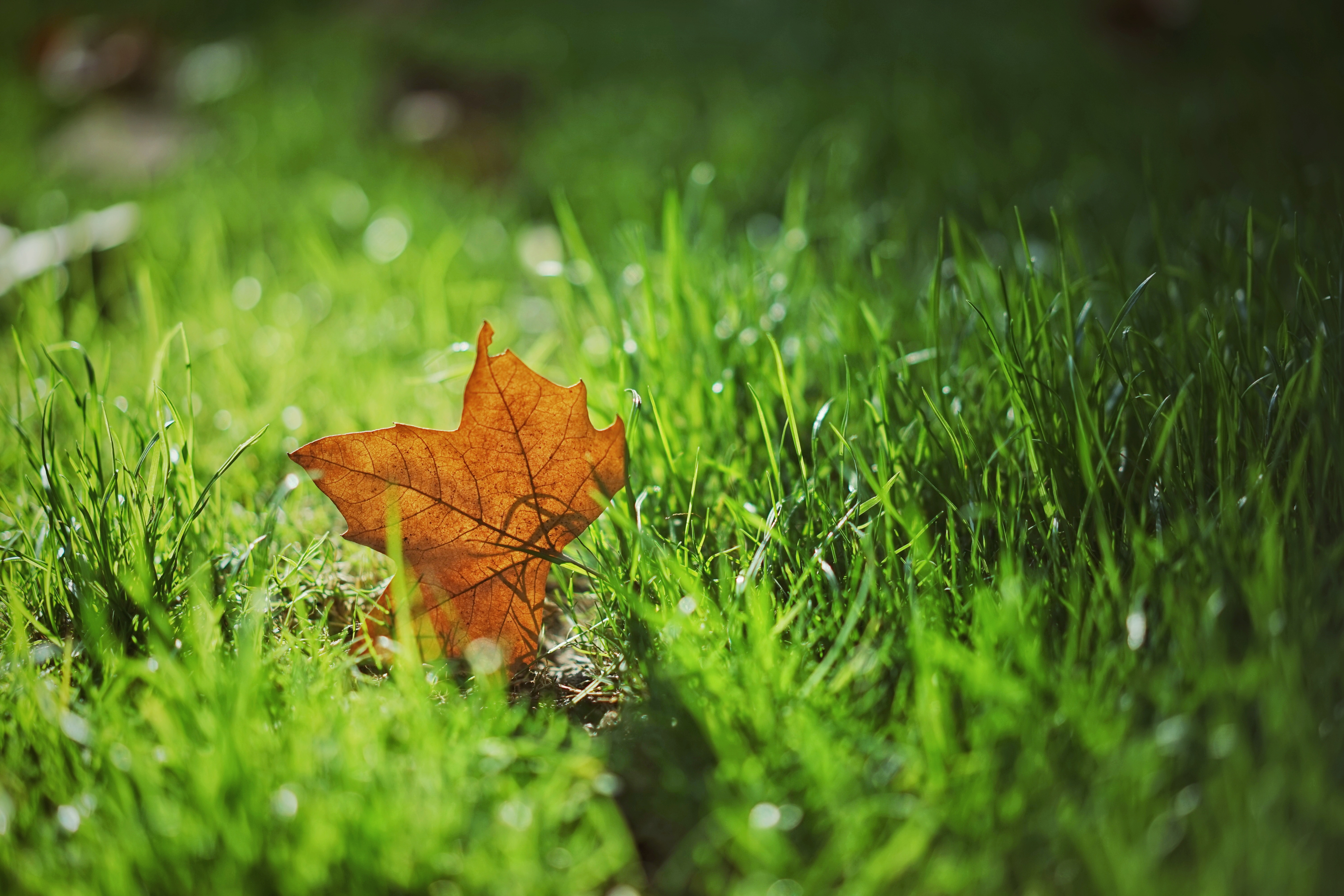 57919 download wallpaper Nature, Sheet, Leaf, Autumn, Maple, Grass, Blur, Smooth screensavers and pictures for free