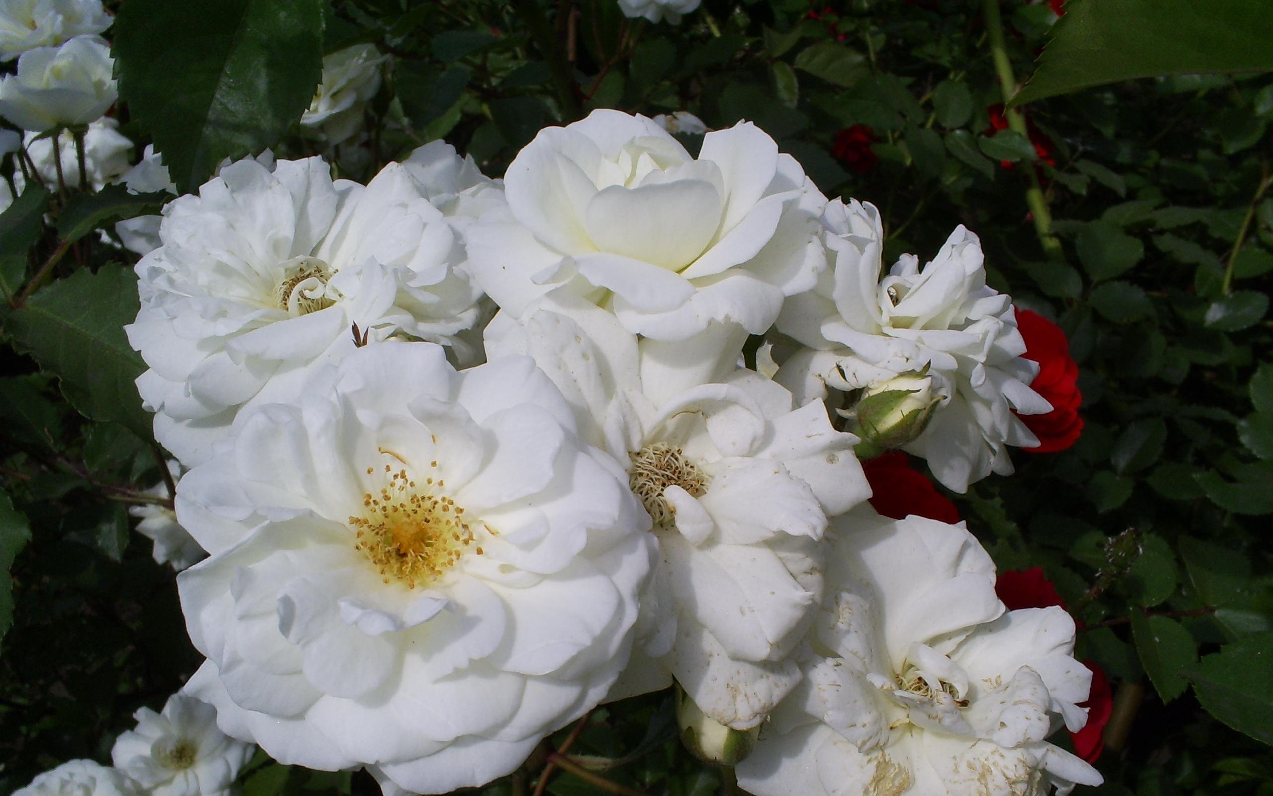 4851 скачать обои Растения, Цветы, Розы - заставки и картинки бесплатно